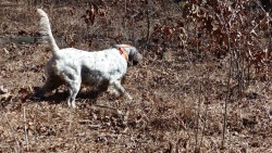 English Setter and Quail